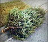 Pine Tree (Christmas tree) lying curbside